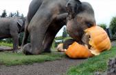 سنت خرد کردن کدو تنبل توسط فیلها+فیلم